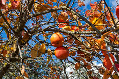 Persimmon tree Royalty Free Stock Photos