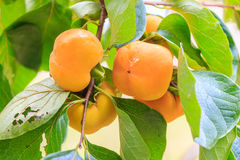 Persimmon on tree Stock Image