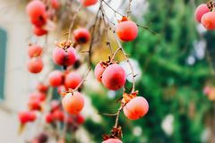 Persimmon tree. With red fruits stock photography