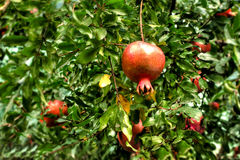 Persimmon tree. Red ripe persimmon fruit on green tree in sunlit garden royalty free stock photo