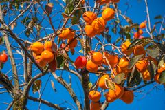 Persimmon tree with ripe orange fruits agenst blue sky, autumn t. Ime stock photos