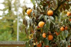 Persimmon tree with Ripe orange fruits in the autumn garden stock images