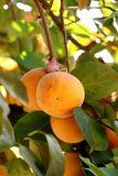 Persimmon tree with Ripe orange fruits in the autumn garden royalty free stock photo