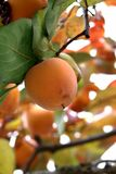 Persimmon tree with Ripe orange fruits in the autumn garden royalty free stock image