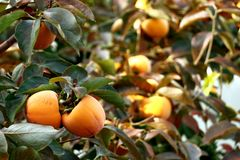 Persimmon tree with Ripe orange fruits in the autumn garden stock image
