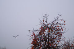 Persimmon tree and seagull against the dark sky Royalty Free Stock Image