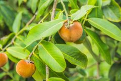 Persimmon tree and velvet persimmon contrast beautifully with their green leaves.  royalty free stock image