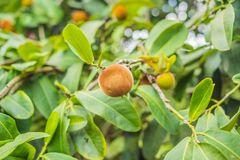 Persimmon tree and velvet persimmon contrast beautifully with their green leaves.  stock photography