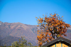 Persimmon tree with the view on mountains. Como Lake, Italy stock image