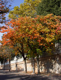 Persimmon trees (Diospyros kaki) in fall time Royalty Free Stock Photography