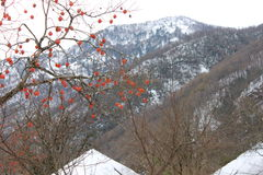 Persimmon winter on the slopes of the southern mountains. Persimmon, like fire, burning fire on a background of mountains and snow. Winter in the south. Winter Royalty Free Stock Photos