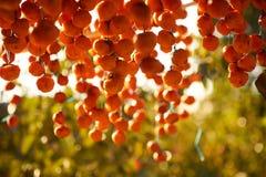 Persimmons που κρεμούν και που ξεραίνουν για να κάνει ξηρά persimmons στοκ φωτογραφία με δικαίωμα ελεύθερης χρήσης