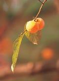 persimmons φύλλων στοκ εικόνα