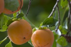 Persimmons. Persimmon abstract Stock Photos