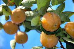 Persimmons stock photography