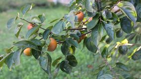 Persimmons. Beautiful sweet, organically grown Persimmons on tree stock video