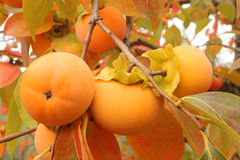 Persimmons on the branch. Some persimmons on the branch Stock Photo