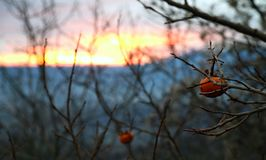 Persimmons on the dry tree in the fiery sunset Royalty Free Stock Photos