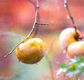 Persimmons at fruit garden at Arashiyama Kyoto. A shot of persimmon on its tree during a rainy day Royalty Free Stock Image
