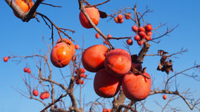 Persimmons at fruit garden, Valencia. Spain Royalty Free Stock Photo