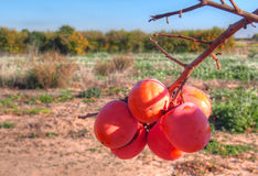 Persimmons at fruit garden, Valencia Stock Photography