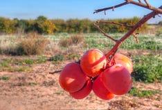 Persimmons at fruit garden, Valencia Stock Photography