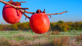 Persimmons at fruit garden, Valencia Stock Image