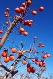Persimmons at fruit garden, Valencia. Spain Stock Photography