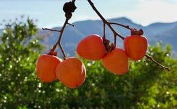 Persimmons at fruit garden, Valencia, Spain. Season royalty free stock image