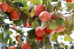 Persimmons fruit on persimmon tree, close up, outdoors. Agriculture and harvesting concept royalty free stock images