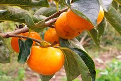 Persimmons growing on a tree Stock Image