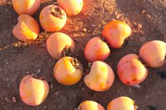 Persimmons On The Ground After A January Frost Royalty Free Stock Image