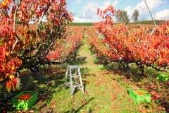Persimmons orchard Stock Images