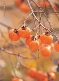 Persimmons with Plant stock photos