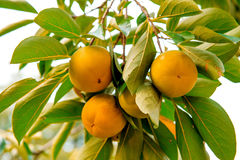 Persimmons or ripe fruit. Royalty Free Stock Images