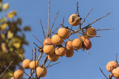 Persimmons on tree in autumn Stock Photography