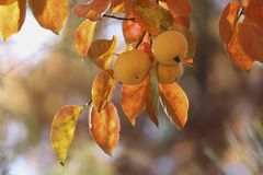 Persimmons on tree Royalty Free Stock Photo