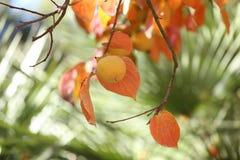 Persimmons on tree Stock Photo