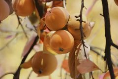 Persimmons on tree Stock Image