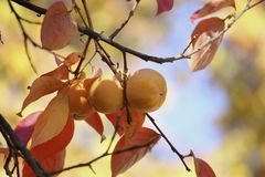 Persimmons on tree Royalty Free Stock Photography