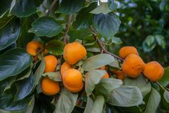 Persimmons Tree, Persimmons Trees From Thailand Country Royalty Free Stock Image