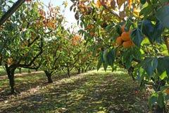 Persimmons w persimmon sadzie na słonecznym dniu Fotografia Royalty Free