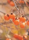 persimmonsväxt arkivfoton