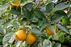 Persimonebaum mit Frucht Lizenzfreie Stockfotos