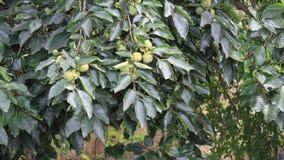 Persimonebaum und -frucht stock footage