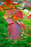Persimonebaumblätter auf Niederlassung im Herbst Lizenzfreie Stockbilder