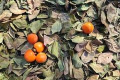Persimonfruktträdgård arkivfoton