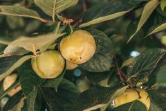 Persimonträd arkivfoto