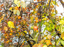 Persimonträd royaltyfria foton