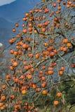 Persimonträd royaltyfria bilder